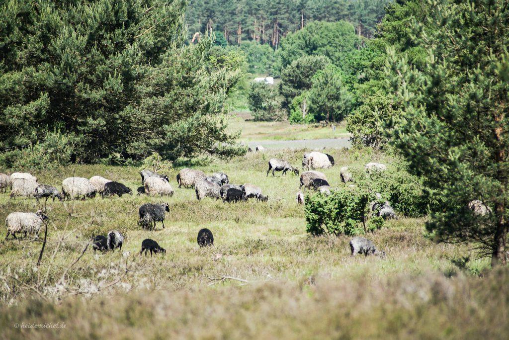 Herde Schafe auf dem Schneverdinger Höpen